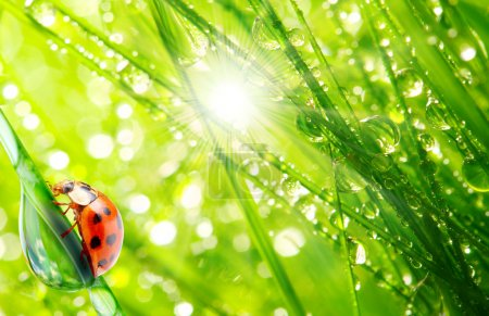 Photo for Ladybug drinking fresh morning dew on a grass - Royalty Free Image