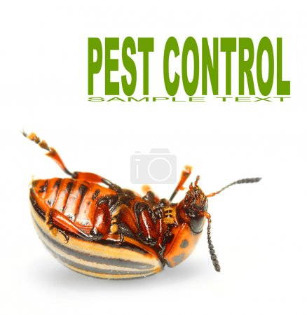 The Colorado potato beetle