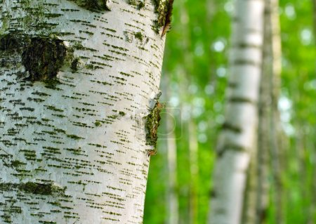 Birch forest. Betula pendula