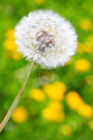 Dandelion on meadow