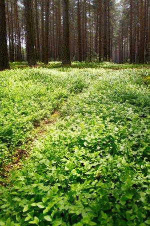 Photo pour Tôt le matin dans une forêt de pins - image libre de droit