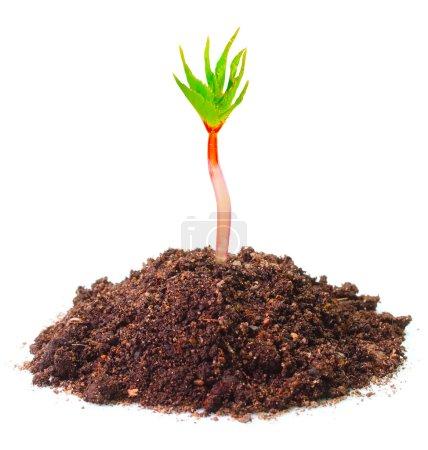 Seedling growing in a soil.