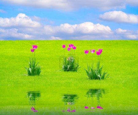 Three tulips in park