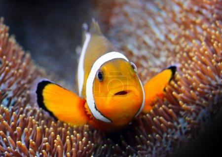 Clown fish in tropical sea