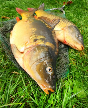 Fish on fishing net. The Common Carp