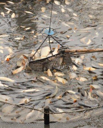 Fishpond , carps