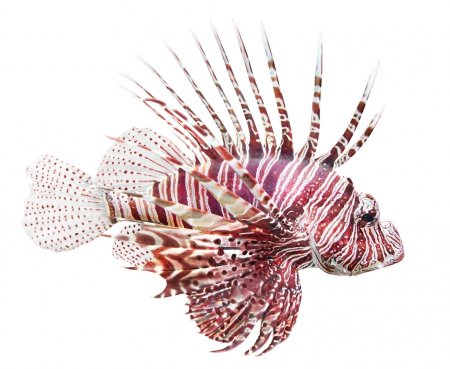 Photo for Tropical fish - The Red Lionfish (Pterois volitans) is very dangerous coral reef fish. Lionfish venomous dorsal spines are used for defense. - Royalty Free Image