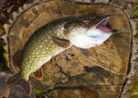 Northern Pike fish