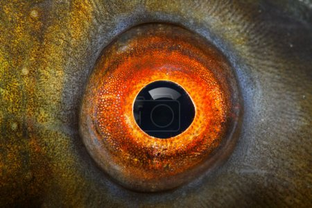 Photo for Fish eye (Common carp) close up. - Royalty Free Image