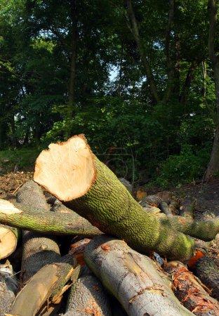Photo pour Grumes fraîchement récoltées de pin sylvestre (Pinus sylvestris) sur une pile. Concept environnemental . - image libre de droit