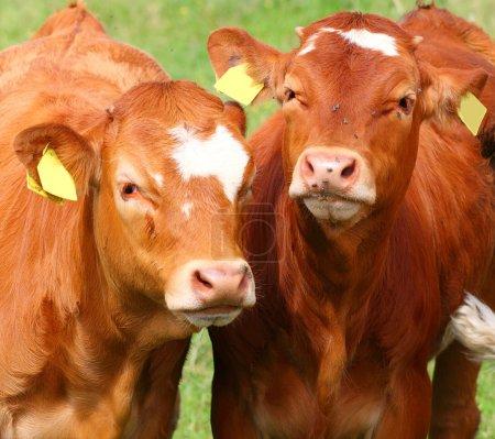 Cute calves cows on a rural meadows.