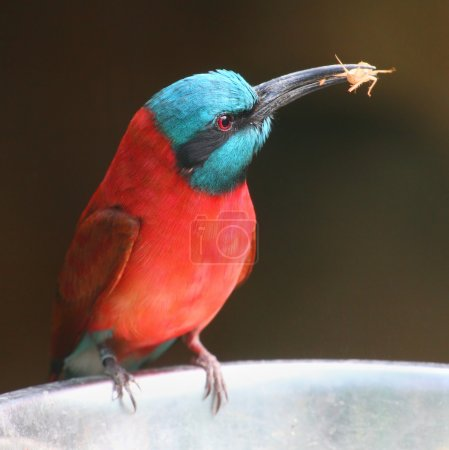A Northern Carmine Bee-Eater (Merops nubicus)