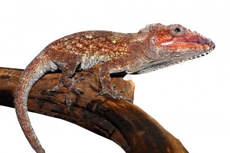Photo for Tropical Chameleon lizard isolated - Royalty Free Image