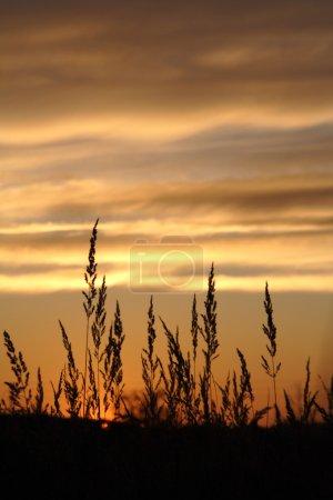 Photo pour Herbe contre le ciel couchant - image libre de droit