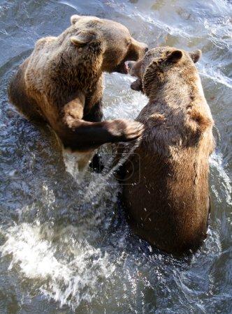 Photo pour Deux ours bruns (Ursus arctos) jouent dans le parc national Forêt bavaroise Allemagne Europe - image libre de droit