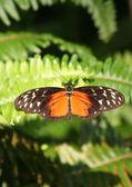 Motýl zlatý helicon stojící na listy kapradí