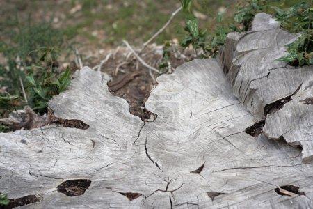 Photo pour Souche d'arbre coupée - image libre de droit
