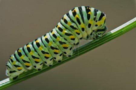 wild caterpillar fennel branch