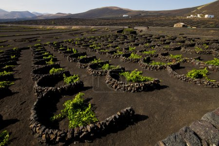 Cultivation home viticulture winery lanzarote spain la geria vine screw grapes wall crops barre