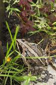 žába na bílém pozadí