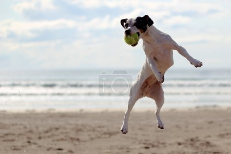 A dog on the beach catching a tennis ball
