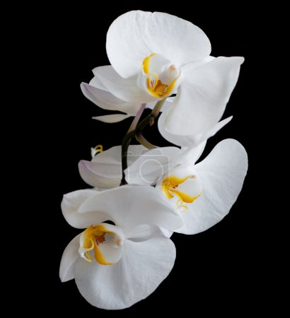 Photo for White orchids flowers on a black background - Royalty Free Image