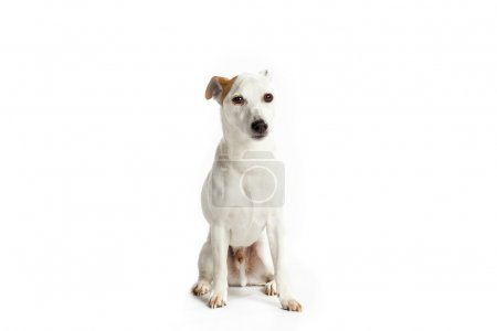 Cute jack russell