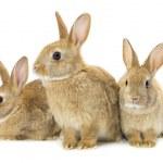 Three brown rabbits...
