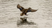 Kachna divoká letu