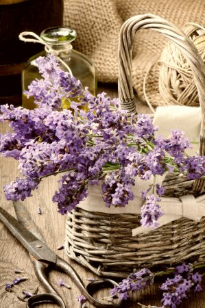 Photo for Bunch of freshly cut lavender in a basket - Royalty Free Image