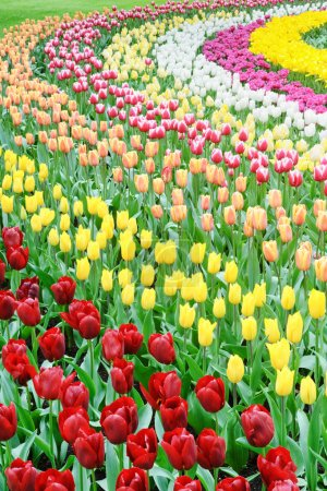 Flower bed of multicolored tulips