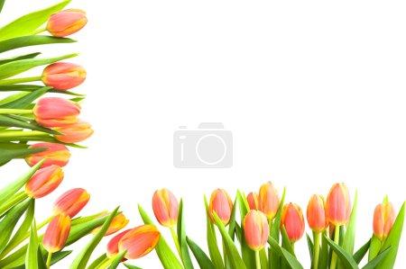 Photo pour Un cadre de tulipes rouge vif sur fond blanc - image libre de droit