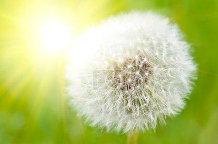 Closeup on dandelion