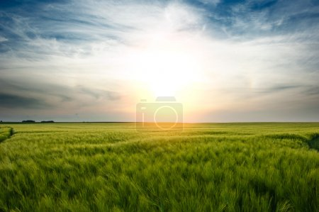 Photo for Sunset over green wheat field - Royalty Free Image