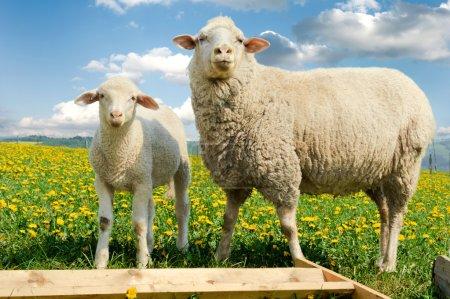 Photo pour Mère moutons et son agneau dans le champ de pissenlit - image libre de droit