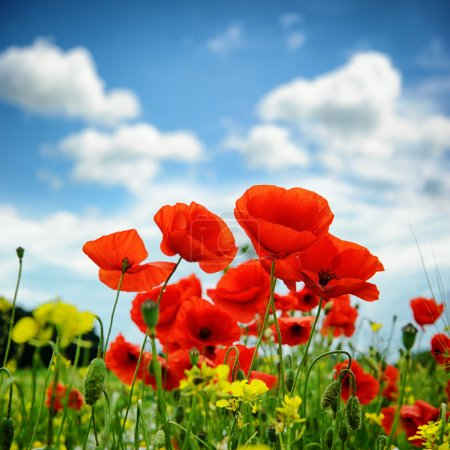 Photo for Poppies on summer green field - Royalty Free Image