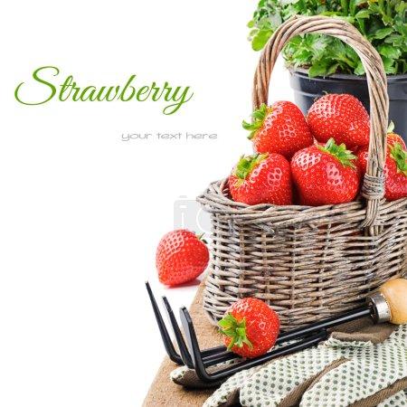 Fresh strawberry in a basket