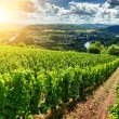 Beautiful summer landscape with vineyard at sunny ...