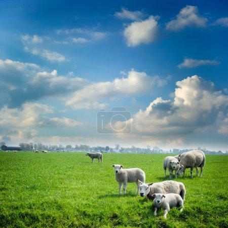 Photo pour Troupeau de moutons à champ vert été - image libre de droit