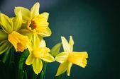 Yellow daffodils on dark green background