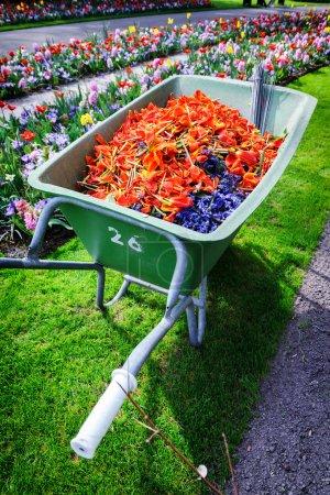 Wheelbarrow full of tulip pestles