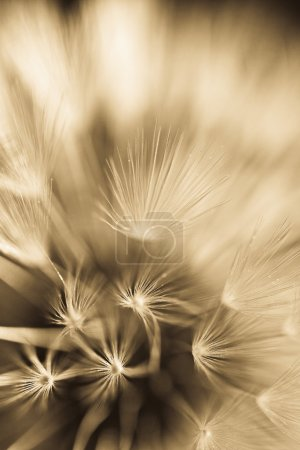 Abstract dandelion flower background, extreme closeup. Big dandelion on natural background.
