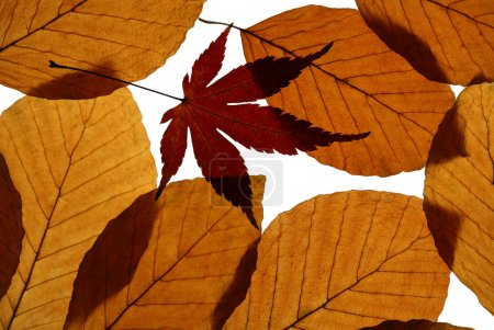 Autumn Beech and Japanese Maple Leaves