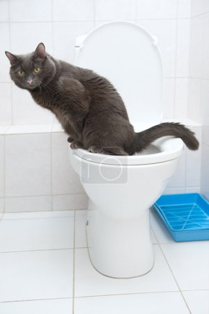 Cat of silver color in toilet