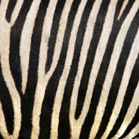 Animal print, zebra texture background black and white colors