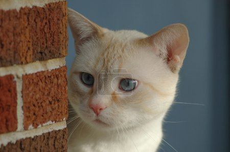 Cat Staring with Blue Eyes