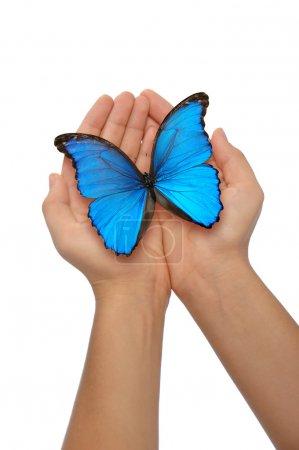 Photo pour Mains tenant un papillon bleu sur un fond blanc - image libre de droit