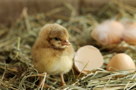 Image of adorable hatched chick, close-up
