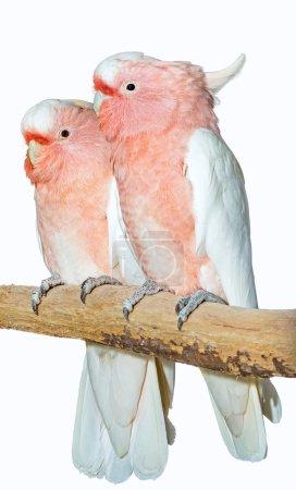 Two major mitchell cockatoos