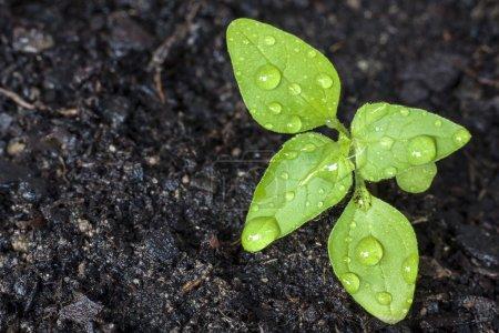 Photo pour Pousse verte de plus en plus de la graine - image libre de droit
